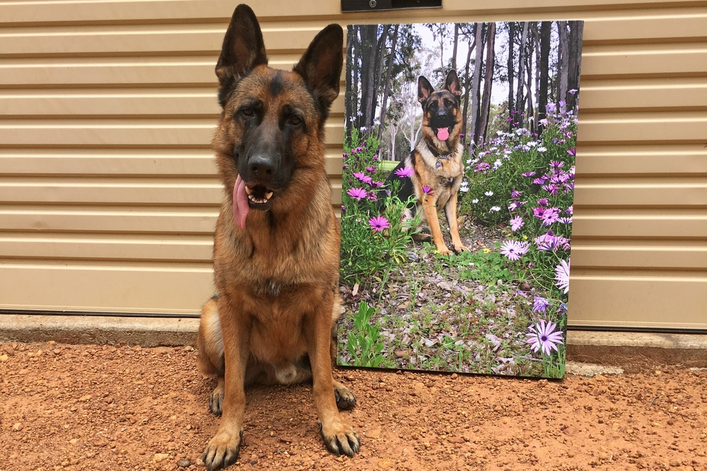 German Shepard with canvas print